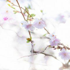 Japankirebær treet blomstrer